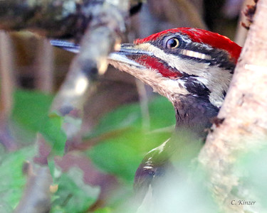 Pileated Woodpecker Through Branches