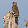 Female Northern Flicker View 1
