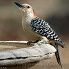 First Time I've Had a Woodpecker at my Birdbath.