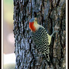 Female Red Bellied Woodpecker on Pecan Tree