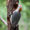 Golden Fronted Woodpecker on Feeder