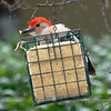 Red-bellied Woodpecker In The Snowstorm