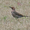 Flicker in the Grass