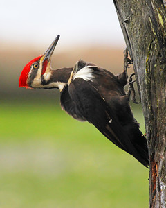 Pileated Woodpecked