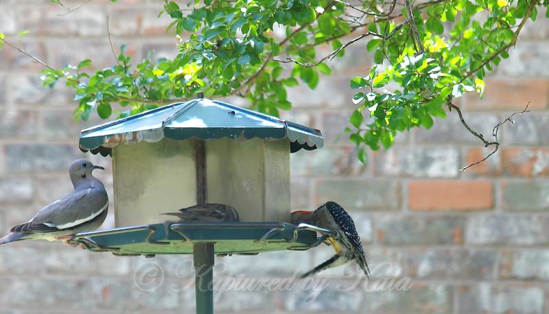 A Dove, A Sparrow & A Woodpecker Go To A Buffet