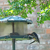 A Dove, A Sparrow & A Woodpecker Go To A Buffet