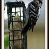 Female Downy Woodpecker at Suet Basket