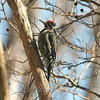 Sunlit Sapsucker View 1