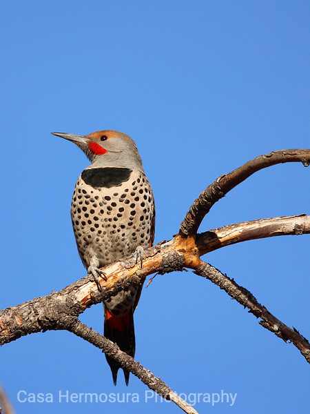 Male Red-shafted Northern Flicker; Los Alamos, New Mexico