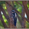 Female Downy Woodpecker on Crepe Myrtle Tree Trunk