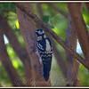 Female Downy Woodpecker on Crepe Myrtle Tree Trunk