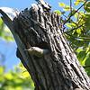 I Believe I Found A Woodpecker Nest