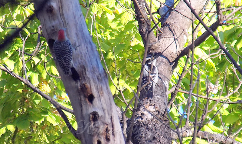 Woodpeckers At The Heard