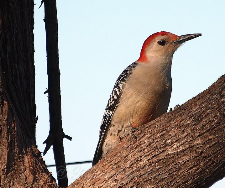 Three Views Of This Beautiful Bird  III