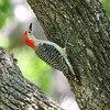 Rookery Woodpecker