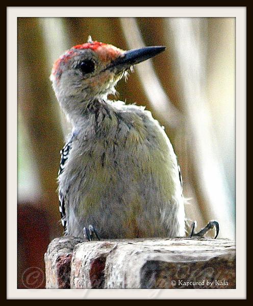 Baby Male Red Bellied Woodpecker