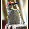 Baby Male Red Bellied Woodpecker
