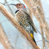 Northern Flicker In A Snow Storm