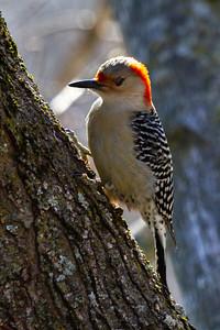 Red Bellied Woodpecker in Illinois