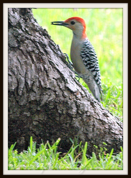 Male Red Bellied Woodpecker Right After He Pulled a Beetle Out of the Tree Bark