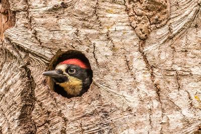 Acorn Woodpecker chick