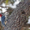 Backlit Red-bellied Woodpecker