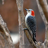 Female Red-Bellied Woodpecker Puffed Up in the Cold Wind