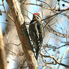 Sunlit Sapsucker View 2