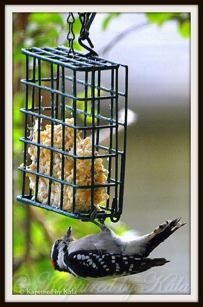 Upside Down Downy Woodpecker