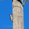 Meanwhile, High Up On The Telephone Pole.....