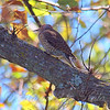 Northern Flicker With Fall Colors