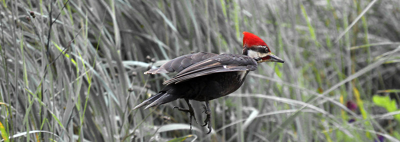 Pileated Woodpecker Flying