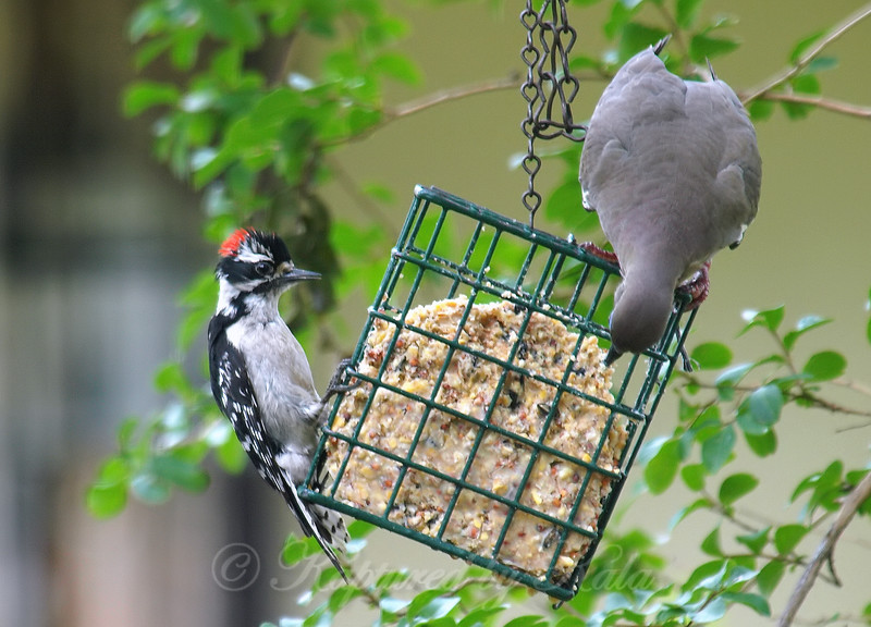 Junior Doesn't Like Sharing His Suet