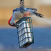 Another Great View of the Red Belly on the Red Bellied Woodpecker