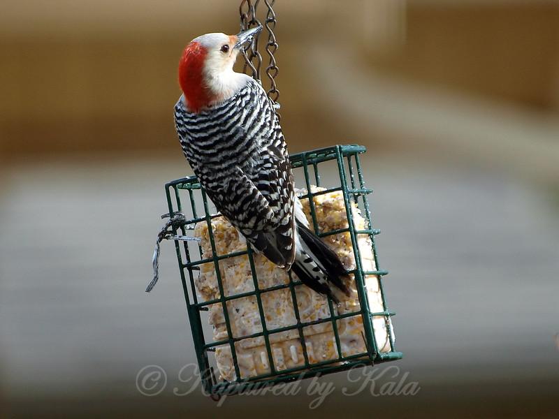 Beautiful Female Red-Bellied Woodpecker
