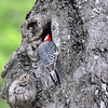 Papa Red-bellied Woodpecker Feeding His Babies