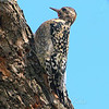 Juvenile Male Yellow-bellied Sapsucker View 2