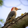 Red Bellied Woodpecker Close Up