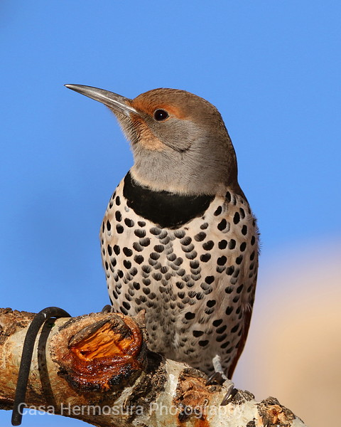 Red-shafted Northern Flicker (female)