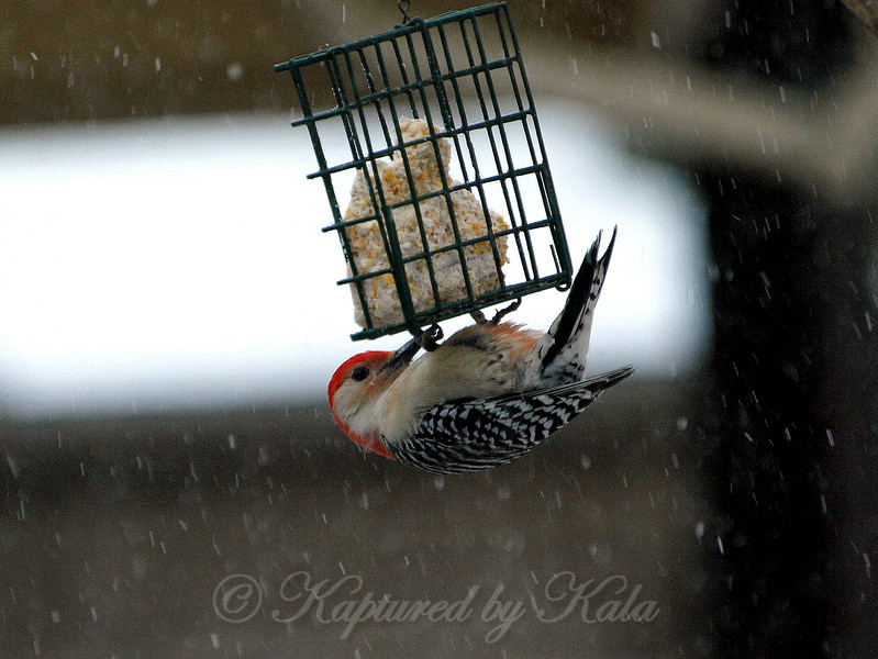 Eating Suet in a Snow Storm