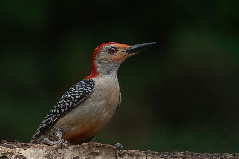 Red-bellied Woodpecker - Male
