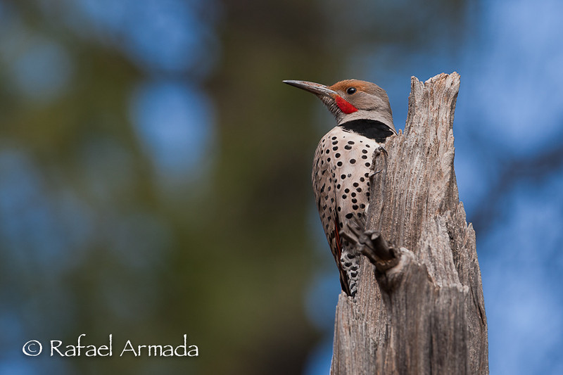"""Northern Flicker """"Red-Shafted (Western)"""" (Colaptes auratus), Male.<br /> Williams (Arizona, USA), April 2009."""