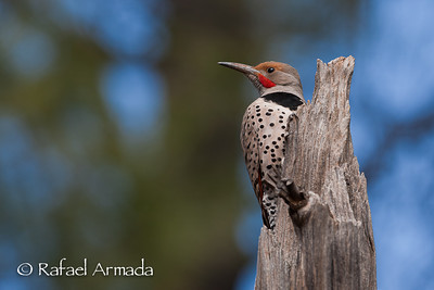 Woodpeckers & Barbets