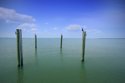 Cormorants on Pilings in the Indian River