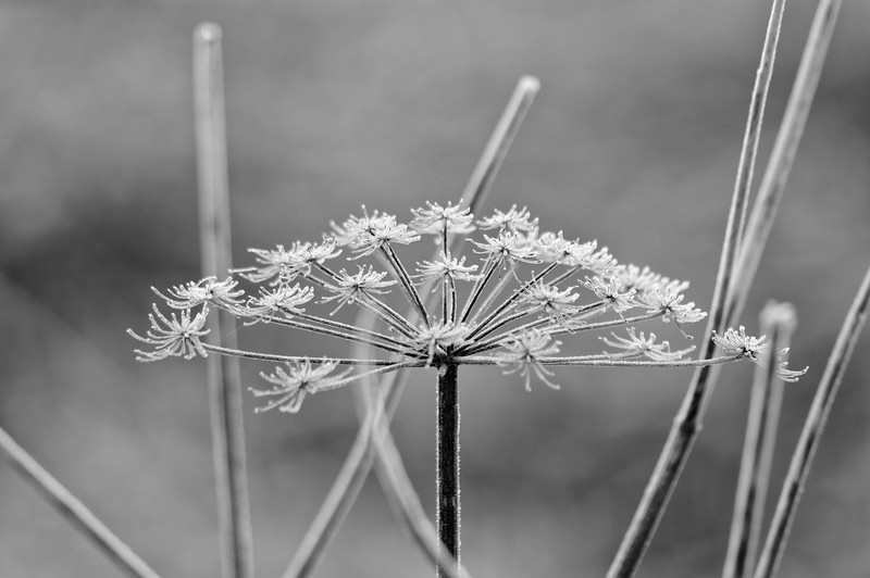 Hoar-frosted umbel of wild angelica (b/w)