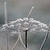 Hoar-frosted umbel of wild angelica