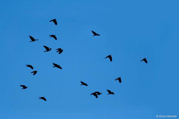 Woodswallows, Currawongs, Magpies, Apostlebirds and Cough
