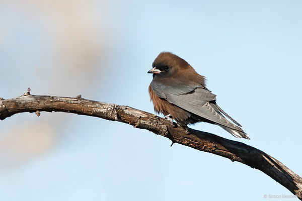 Little Woodswallow