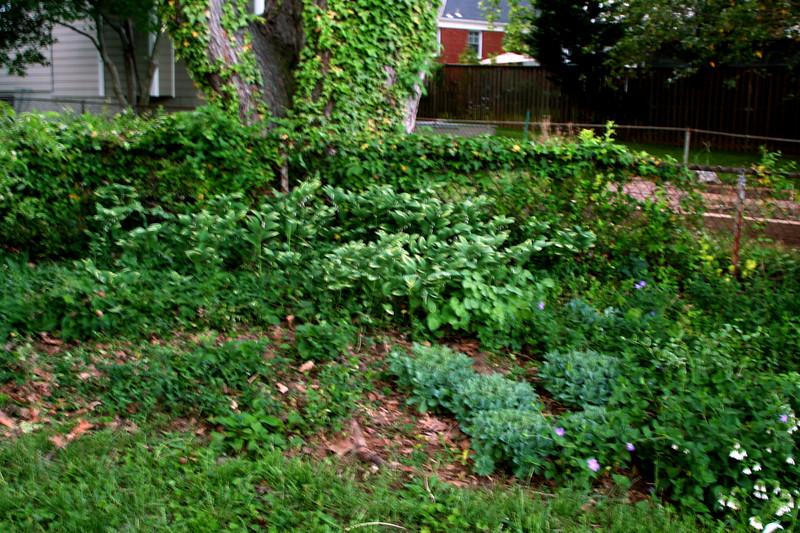 Growing Symphytum grandiflorum, Solomon's seal, and Epimediums under the same maple tree.