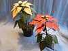 Pointsettias. The white was made from bendable White Ash sothe leaves and petals bend as they blend with the stem. Each leaf and petal were made in two halves using the grain as the veins. The red was made from Paudauk with a very slight stain for more color. Non-bendable, the leaves stand outward more as the real plant. Leaves are made of White Ash.